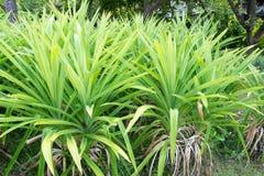 Pandan Leaves , Thai Herb Royalty Free Stock Images