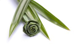 Pandan is a plant that has many benefits, such as herbs, for making food, sweets, beverages and fragrant. Pandan is a plant that has many benefits, such as stock photography