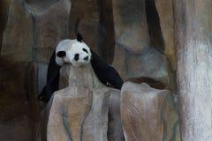 Pandan sover på klippan Arkivbilder