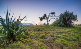 Pandanas on grass hill Stock Image