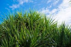 Pandanas palm tree against blue sky Royalty Free Stock Photography