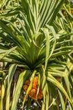 Pandanas the pineapple tree Royalty Free Stock Image