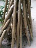 Pandanis Royalty-vrije Stock Foto's
