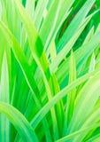 Pandanowa amaryllifolius liście Obraz Stock