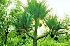 Pandanowiec palma z owoc Zdjęcia Stock