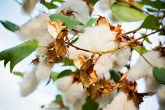 Pandanus Amaryllifolius. In The Garden Stock Images