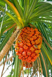 Pandanus Fruit - Screwpine Royalty Free Stock Photography