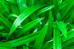 Pandanus green leaf Stock Photo