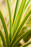 Pandanus green and yellow variegated thorny leaves Royalty Free Stock Image