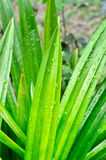 Pandanus leaf Stock Photos