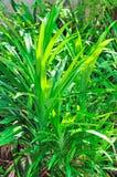 Pandanus leaf Stock Image