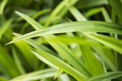 Pandanus leaf Royalty Free Stock Photo