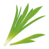 Pandanus leaves Stock Image