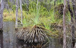 Pandanus in the natural state Royalty Free Stock Photos