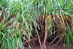 Pandanus Odorifer - δέντρο Kewda ή ομπρελών με τα μακριά ακανθωτά φύλλα - πεύκο βιδών - τροπικές εγκαταστάσεις των νησιών Andaman στοκ φωτογραφίες με δικαίωμα ελεύθερης χρήσης