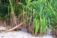 Pandanus Odorifer - δέντρο Kewda ή ομπρελών με τα μακριά ακανθωτά φύλλα - πεύκο βιδών - τροπικές εγκαταστάσεις των νησιών Andaman στοκ εικόνες
