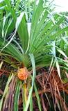 Pandanus Odorifer - δέντρο Kewda ή ομπρελών με τα φύλλα και τα ώριμα φρούτα - πεύκο βιδών - τροπικές εγκαταστάσεις των νησιών And στοκ εικόνες
