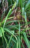 Pandanus Odorifer - δέντρο Kewda ή ομπρελών με τα φύλλα και τα Unripe φρούτα - πεύκο βιδών - τροπικές εγκαταστάσεις των νησιών An στοκ φωτογραφίες