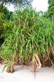 Pandanus Odorifer - Kewda or Umbrella Tree with Long Spiny Leaves - Pine - Tropical Plant of Andaman Nicobar Islands. This is a photograph of pandanus palm tree royalty free stock photo