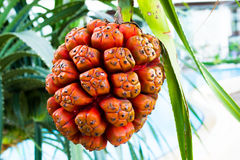 Pandanus, Stock Photos