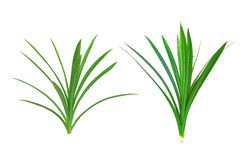 Pandanus Palm, Fragrant Pandan Stock Photos