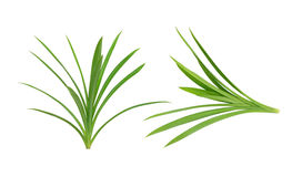 Pandanus Palm, Fragrant Pandan Stock Photography