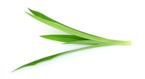 Pandanus Palm, Fragrant Pandan, Pandom wangi Stock Image