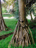 Pandanus palm roots. Detailed picture of a pandanus palm's roots above the ground stock image
