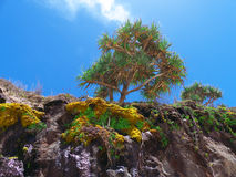Pandanus Palm Tree on a Cliff Royalty Free Stock Photos