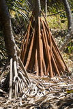 Pandanus Palm Tree Roots Royalty Free Stock Photography