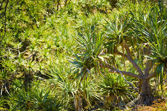 Pandanus Palm Tree Stock Photo