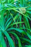 Pandanus palm (Pandanus amaryllifolius) tree with fruits, Maldiv Royalty Free Stock Images