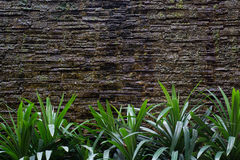 Pandanus plans grow by the wall Stock Image