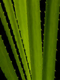 Pandanus plant Stock Image