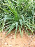 Pandanus tectorius Royalty Free Stock Photo