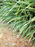 Pandanus tectorius Royalty Free Stock Photos