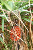 Pandanus tectorius fruit Stock Photos