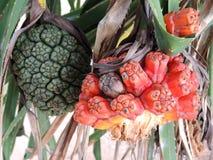 Pandanus tectorius fruit Stock Photography