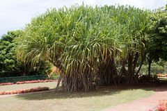 Pandanus tectorius or hala tree growing in Hawaii Royalty Free Stock Photography