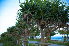 Pandanus tectorius in Okinawa Royalty Free Stock Photos