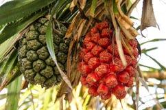 Pandanus tectorius,Screw Pine (Pandanus tectorius or Pandanus odoratissimus) Royalty Free Stock Photography