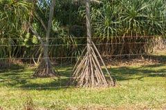 Pandanus Tectorius, tha Native Plant of Hawaii Stock Photography