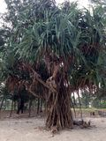 Pandanus tree on the beach Royalty Free Stock Photo