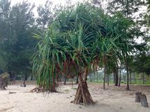 Pandanus tree on the beach Royalty Free Stock Photos