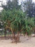 Pandanus tree on the beach Stock Photos