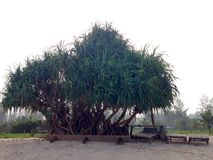 Pandanus tree on the beach Royalty Free Stock Image