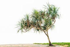 Pandanus tree Royalty Free Stock Photos