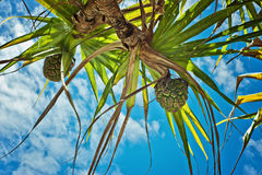 Pandanus tree with fruit Stock Photo