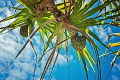 Pandanus tree with fruit Stock Photo