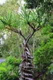 Pandanus tree Stock Images